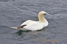 An adult Northern Gannet at rest on the water. Photo: 7 Seas Whale Watch