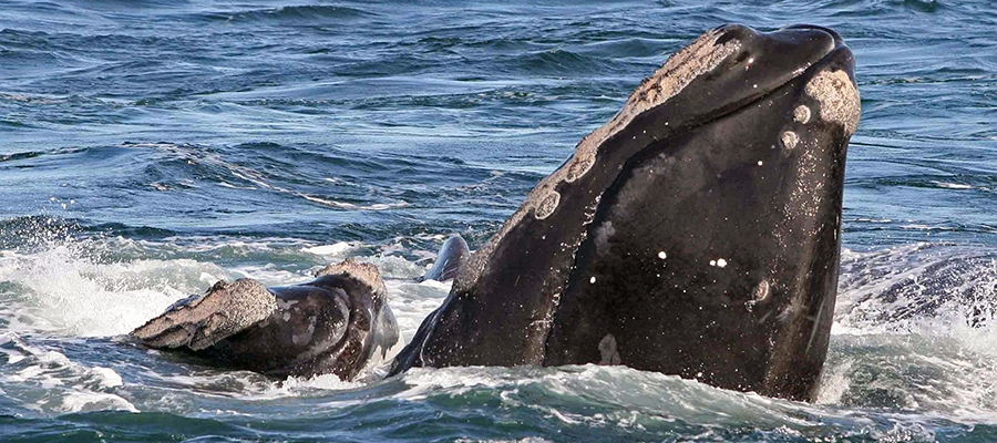 Northern Atlantic Right Whale
