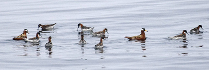 Phalaropes-2