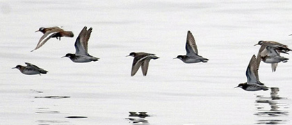 Phalaropes_1
