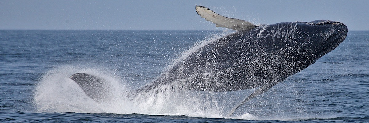 Whale-Watch-7Seas-Humpback-Breach