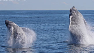 Double Breaching Humpback Whales