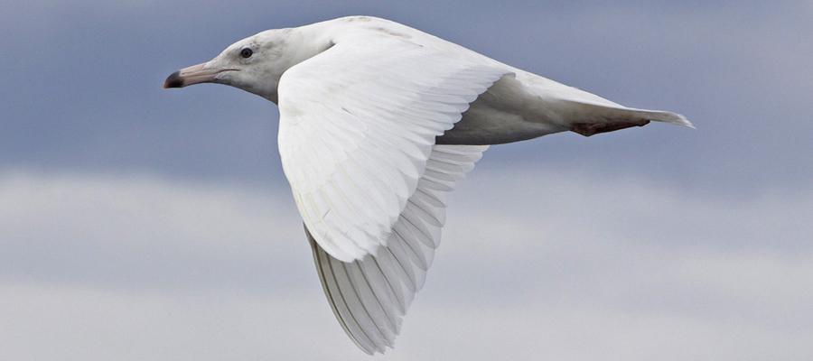 Gulls & Terns 3