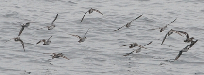 phalaropes-3