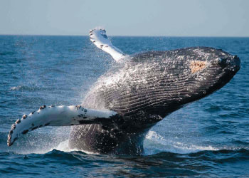 see-humpback-whales